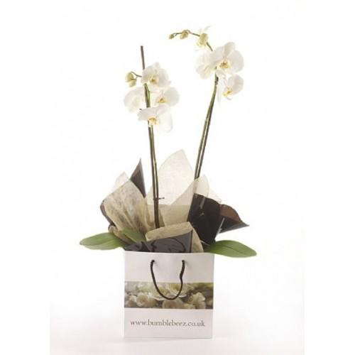 Phalanopsis Orchid *